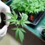 Medical Marijuana and Your Divorce